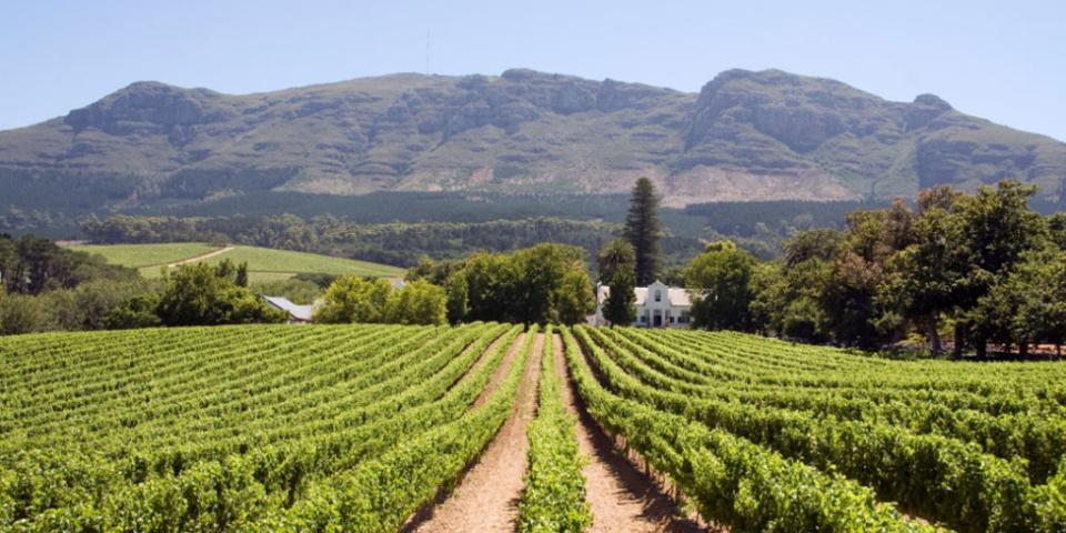 cape-winelands-vinyard