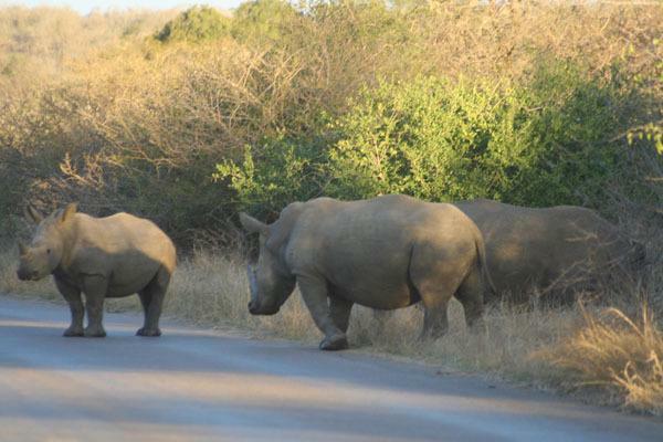 Crossing Rhino when walking can be dangerous