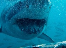 shark diving imgp0088
