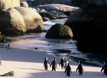 western cape Boulders beach penguins